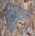 Underwing moth - Catocala texanae