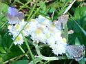 Plebejus melissa 7-27-06 01a - Plebejus melissa - male - female