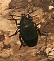 Tetratomidae - Penthe obliquata