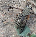 Drab Green Deer Fly - Silvius