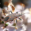 Boxelder Bug - Boisea rubrolineata