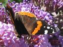 Actual butterfly on butterfly bush - Vanessa atalanta