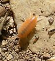 Albino Pill Bug ? - Porcellionides floria