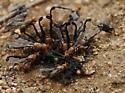 unknown fly - Diacrita costalis