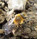 Mining bee in nest tunnel - Andrena dunningi - female
