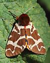 Tiger Moth - Arctia caja