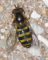 Syrphid Fly - Eupeodes - female