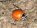 Cycloneda munda - Polished Lady Beetle? - Cycloneda munda