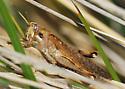 Grasshopper in, uh, tall grass - Schistocerca nitens - female