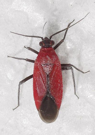 Hemiptera - Lopidea