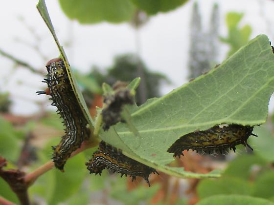 caterpillars eating western red bud tree leaves red head hairs on