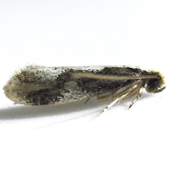Monopis dorsistrigella
