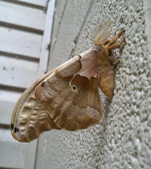 3 - 4 inch moth? - Antheraea polyphemus