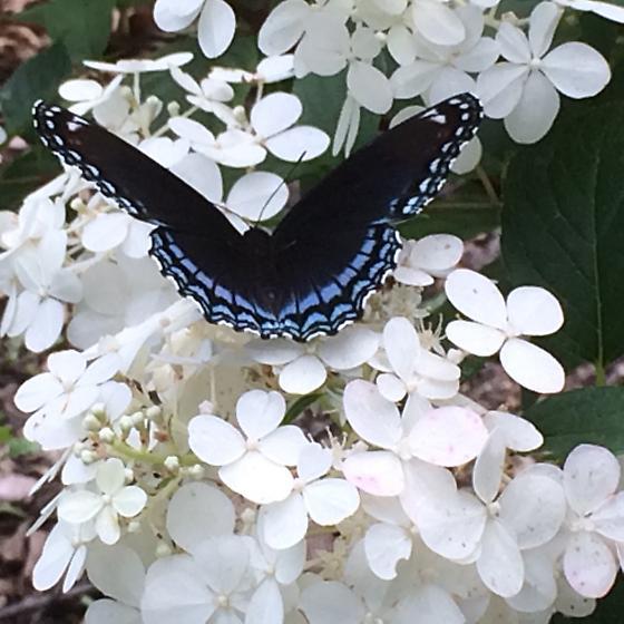 Name Butterfly - Limenitis arthemis