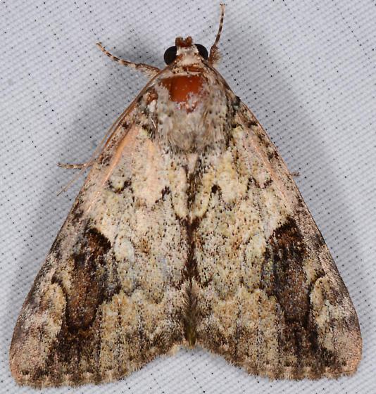 Catocala micronympha