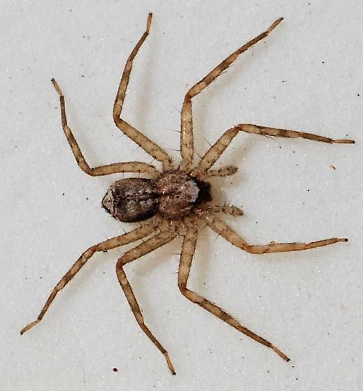 Are there wolf spiders in Florida?