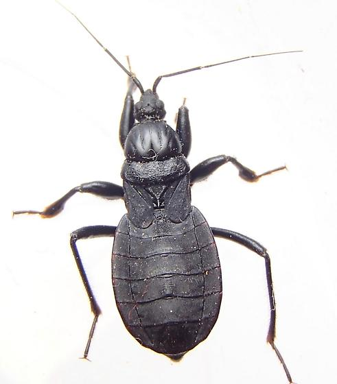 Bug - Melanolestes picipes - female