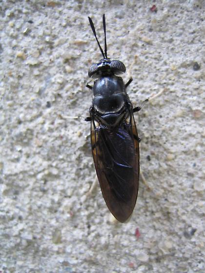 Unidentified Black Flying Insect - Hermetia illucens