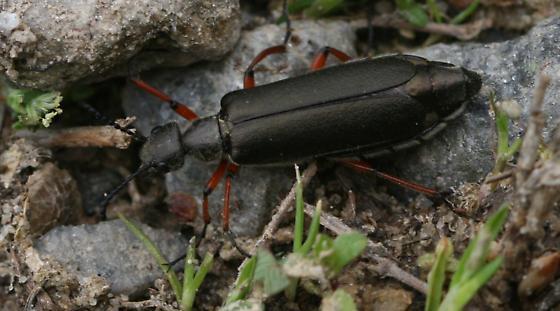 beetle - Lytta aenea