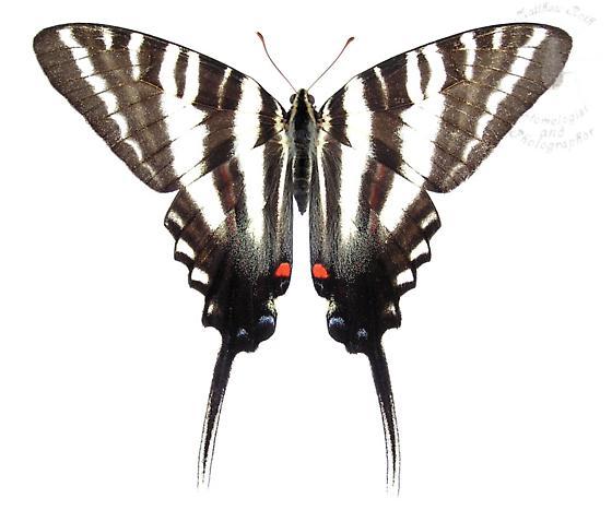 Zebra Swallowtail - Eurytides marcellus