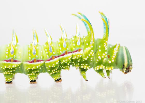 Sphingicampa raspa - Syssphinx raspa