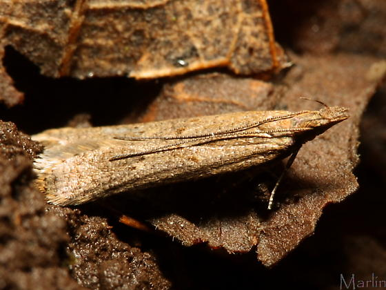 Twirler Moth - Dichomeris ligulella