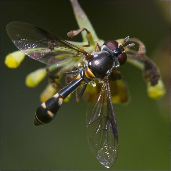 Syrphidae, Syrphid Fly,Pseudodoros clavatus, ID Please - Dioprosopa clavata - female