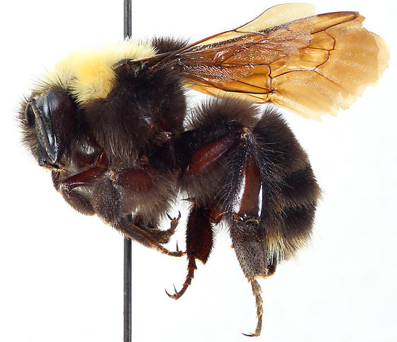 Bombus franklini W - Bombus franklini - female