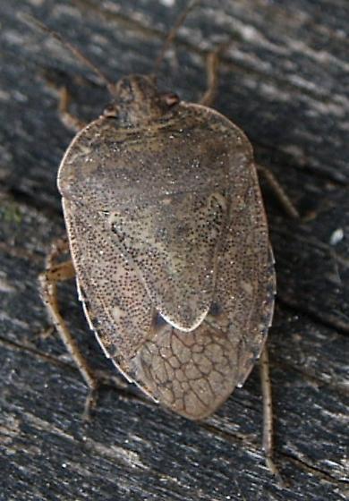 Stink Bug? - Hymenarcys nervosa