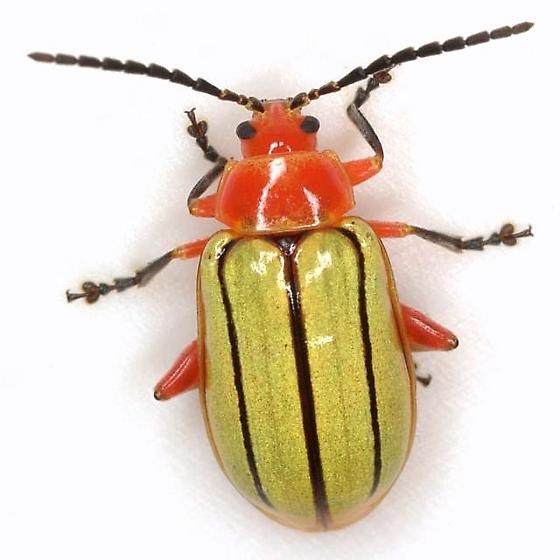 Disonycha stenosticha Schaeffer - Disonycha stenosticha