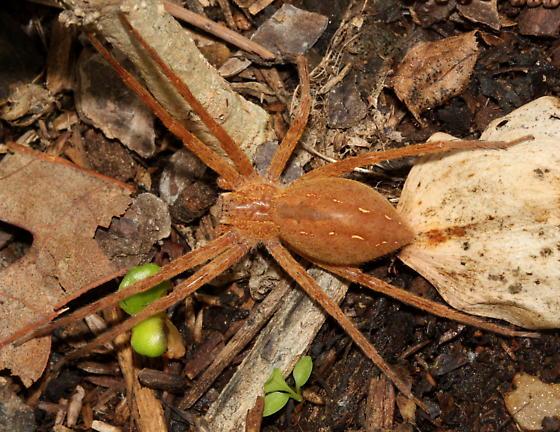 Large Nursery web spider? - Pisaurina mira - female