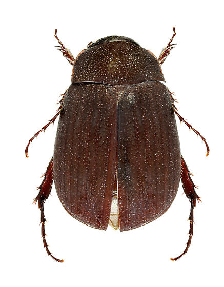Maladera japonica