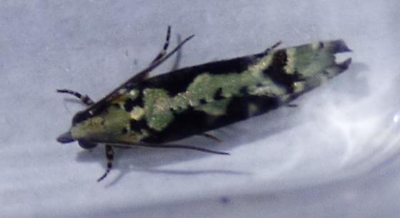 unknown moth - Chimoptesis pennsylvaniana