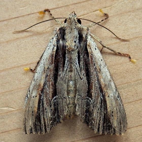 Noctuidae: Apamea verbascoides - Apamea verbascoides