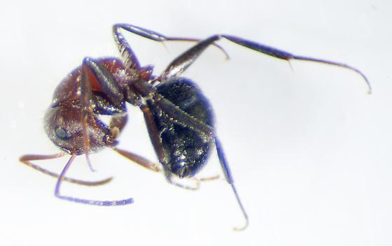 Possibly Camponotus plantus - Camponotus planatus - female