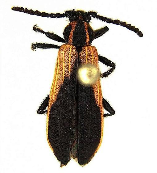 Elytroleptus floridanus (LeConte) - Elytroleptus floridanus