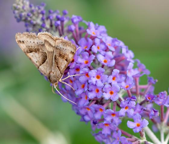 November Moth - Caenurgina