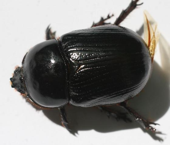 Geotrupes hornii? - Xyloryctes jamaicensis