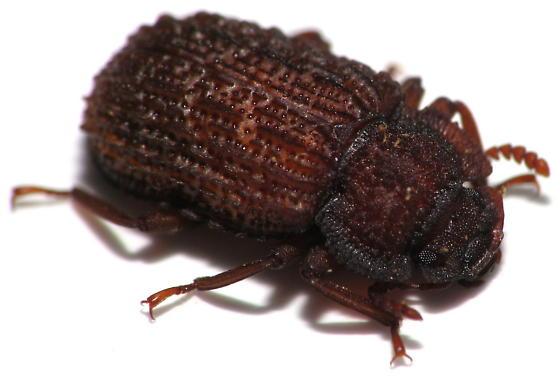Bumpy Red Darkling Beetle - Bolitophagus corticola