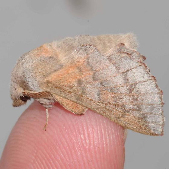 Phyllodesma americana - Lappet Moth - Hodges#7687 ?? - Phyllodesma americana