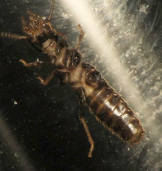 Subterranean Termite - Reticulitermes