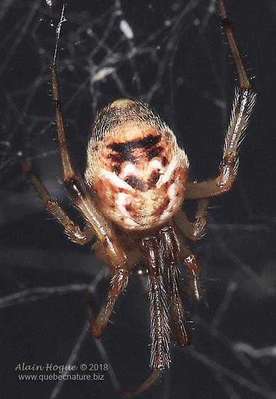 Spider - Parasteatoda tepidariorum