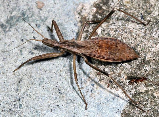 Stenopoda spinulosa - female