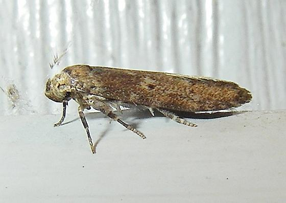 April Fool's Moth  - a gelechiod, I think - Holcocera
