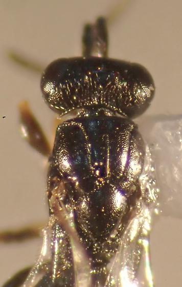 Megaspilid - Trichosteresis glabra