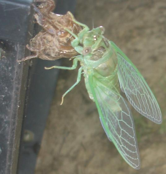 Cicadas emerging from shell. - Megatibicen auletes