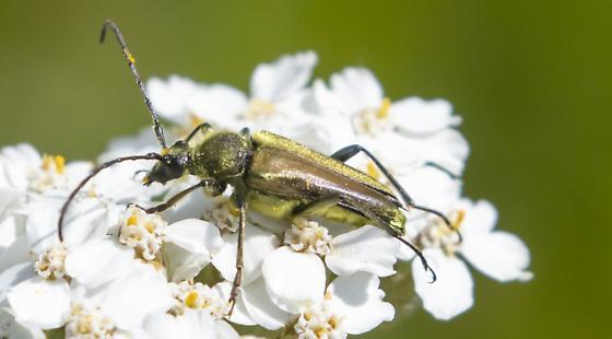 Soldier Beetle - Lepturobosca chrysocoma