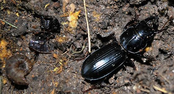 Pasimachus with prey remnants? - Scarites subterraneus