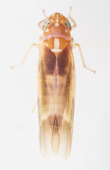 Leafhopper - Empoasca esuma - male