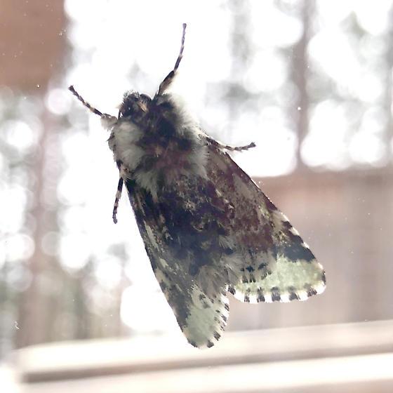 Feralia moth, but unsure which species - Feralia